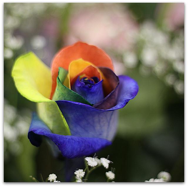 Rosa Arco Iris multicolores