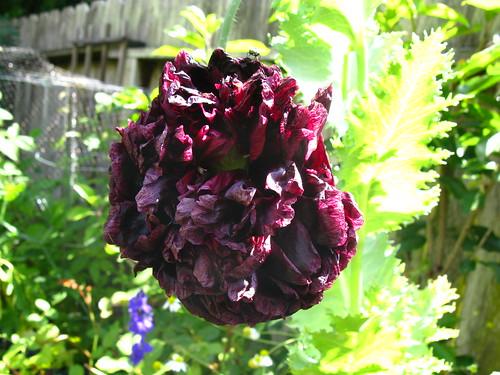 2009-06-26; awful poppy!