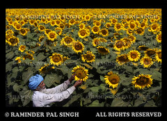 Sun Flowering (Raminder Pal Singh) Tags: colors yellow petals spring wings pattern sunflower nectar farmer pollen yellowflowers bestofflickr villager pollination villagelife bestshots vibrantcolors canonshot sunflowerfield vibrantcolours colorsofindia indianfarmer sunflowerfarm flowerphotography bestflowers niceflowers canon50d flickrsbest abeautifulflower raminderpalsingh sunflowercrop somanyflowers farmeratwork sikhfarmer artofimages shotoncanon bestcapturesaoi floweronflickr flowersurface farmertendingtohisfield beerasingh dharad sikhmaninfield lookingafterflowers stunningphotogpin