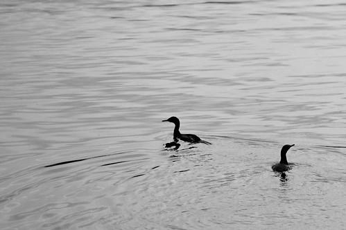 May photowalk B&W - cormorant silhouettes