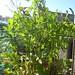 coriandrum sativum / koriander