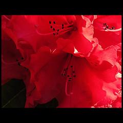 Dreams !!! (Martha MGR) Tags: red naturaleza paris flower macro nature rouge rojo natureza vermelho vernissage mmgr abigfave colorphotoaward marthamgr reservaespecial ~h~ 4msphotographicdream 3msroyalflowers ~24~ ~mm~ 2msroyalstation 24realnature marthamariagrabnerraymundo marthamgraymundo