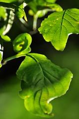 Breathing the Air of Paradise (BeautifulRust) Tags: light tree green nature leaves garden evening spring backyard poem native song foliage species dogwood habitat hafiz cornusflorida hollies