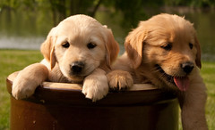2 puppies in crate (JoJoClick) Tags: playing dogs golden puppies retrievers crate nursing camphill jojoclick
