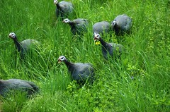 Guineas on the Attack (mandypantz) Tags: birds french farm guineafowl hens