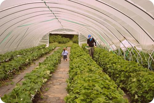 strawberry picking ::