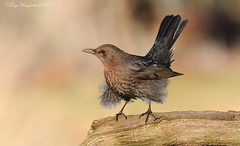Windy day for birds!.jpg (Tony Margiocchi (Snapperz)) Tags: wild bird nature natural wind wildlife birding free turdusmerula blackbird avian turdus merula impressedbeauty sigma500mmf45 britishnature tonymargiocchi nikond300