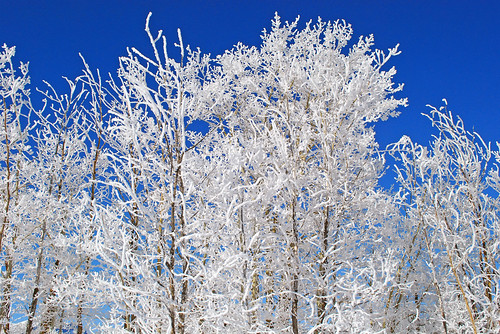 Snow covered trees- 2736b