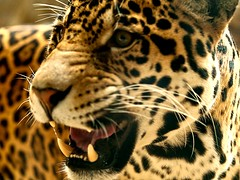 San Antonio Zoo (Bill Oriani) Tags: zoo bill san texas jaguar antonio 2009 oriani zoosofthesouth 50200mmf2835 billoriani flickrbigcats rgmfc