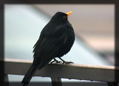 Nature (lydia63) Tags: blackbird maleblackbird