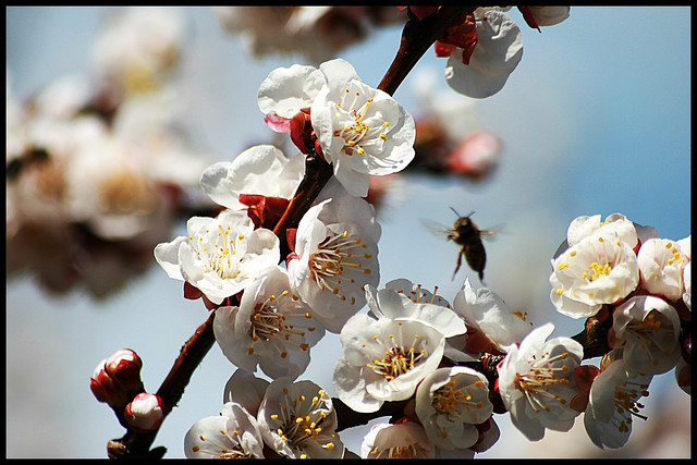 06.02.09 Apricot Blossom and Bee