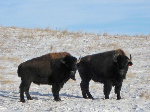 buffalo cropped