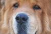 Harley Hound (stpauliesgirl) Tags: dog cute face nose fluffy peg