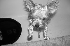 Bathing the baby (dadootdoots) Tags: family pets love home dogs baths cuteness yorkies