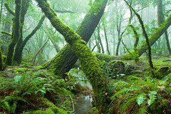 Prehistoric (Aaron Siladi) Tags: california green fog creek marin mttam tamalpais cataract ggnra cataractcreek
