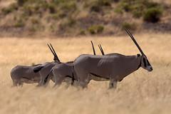 4 Oryxes (Thomas Retterath) Tags: africa travel nature animals tiere wildlife urlaub natur safari afrika bovidae mammals samburu 2009 kenia oryx herbivore ostafrika säugetier beisaoryx pflanzenfresser eastafricanoryx thomasretterath samburufive