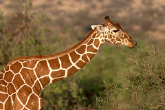 Reticulated Giraffe (Wild Dogger) Tags: africa travel nature animals tiere wildlife urlaub natur safari afrika giraffe orte mammals samburu 2009 kenia herbivore eastafrica ostafrika reticulatedgiraffe sugetier giraffidae pflanzenfresser netzgiraffe giraffacamelopardalisreticulata thomasretterath samburufive worldclassnaturephotos