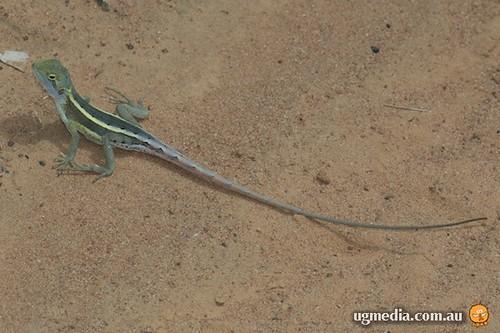 Nobbi dragon (Amphibolurus nobbi)