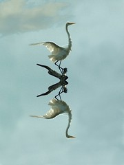 Magic Moment (burt1barnett) Tags: bird nature birds wildlife egret wako shiningstar naturesbest birdwatcher greatwhiteegret sfw thebigone wakodahatchee supershot mywinners mywinner abigfave avianphotography flickrhearts superhearts citrit flickrelite heartawards expresslyu platinumheartaward flickrsheaven naturesoutpost