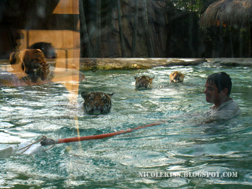 playing with tigers in the water
