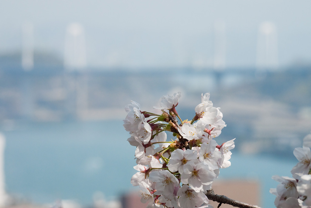 Cherry blossoms @Onomichi 1