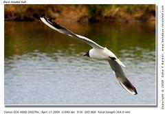 Black Headed Gull (Dave F Barker) Tags: black gull headed