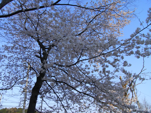 Under the Cherry Tree in Sendai