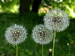 Threesome (Rick & Bart) Tags: flower nature weed flora hasselt natuur dandelion trio threesome wildflower bloem smrgsbord taraxacumofficinale paardebloem herkenrode kartpostal botg rickbart thebestofday gnneniyisi damniwishidtakenthat rickvink