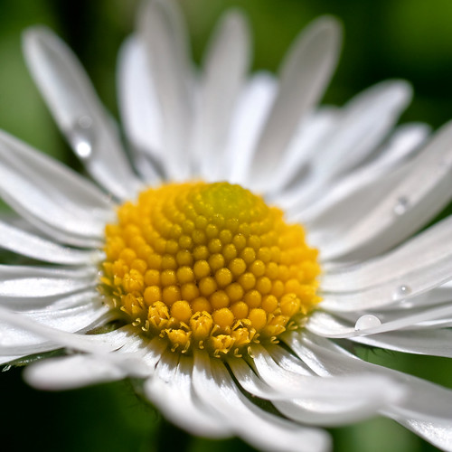 White lawn daisy at Pioneer Park in Stayton Oregon