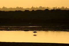 Fishing (Amir Mukhtar Mughal   www.amirmukhtar.com) Tags: pakistan sunset reflection bird water canon river landscape golden fishing finding scenic amir egret silhoute amirphotographyyahoocom amirmukhtar