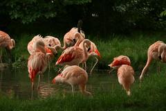 Flamingo party (perry.travis) Tags: pink calgary bird grass canon zoo pond flamingo xti