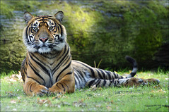 Sumatran Tiger (Foto Martien) Tags: holland netherlands dutch animal female sisters cat sumatra indonesia zoo kat tiger arnhem nederland bigcat burgers sumatrantiger wildcat tijger veluwe indonesi burgerszoo gelderland dierenpark zusters rimba vrouwelijk sigma70300apomacro a350 pantheratigrissumatrae mywinners burgersdierenpark anawesomeshot tigredesumatra sonyalpha350 martienuiterweerd sumatraansetijgers bornchessingtonzoo geborenchessingtonzoo hujanbayuderu martienarnhem