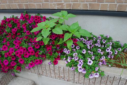 purple and strawberry petunias