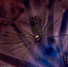 ...dandy ring x-ray... (Geoff...) Tags: flower nikon bokeh australia dandelion canberra inverted coloured purplehearts tamron90mmmacro d80 notextureadded lushpupimages perfectpurplesaturdays lushpup