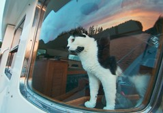 Ship's Cat on Evening Watch (A.Davey) Tags: sunset canada britishcolumbia blackandwhitecat catinwindow shipscat quadraislandbc dotthecat granitebaybc catlookingoutofboatwindow