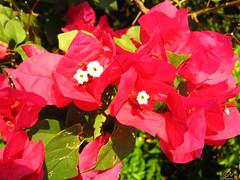 Flores Vermelhas Pequenas