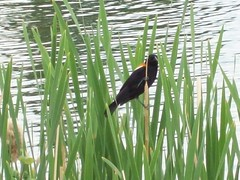 Red-Winged Blackbird at Rundle Park (raise my voice) Tags: park red canada birds geese edmonton hiking biking winged blackbird rundle