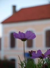 Calvi (Jane_HC) Tags: corse calvi citadel corsica lilac