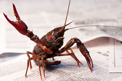 (Daniel Cormier) Tags: food eye newspaper interesting shell crawfish claw crustacean crayfish crawdad canonef2470mmf28lusm claws ef2470mmf28lusm pincers carapace pincer mudbug 2470mm 2470f28 2470f28l 2470mmf28 2470mmf28l