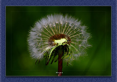 Going Bold (Mara`) Tags: flower green nature nova spring dandelion fuzz novaphoto