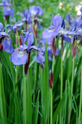 Siberian Irises 2