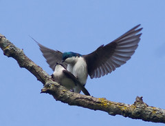 Tree Swallows mating (Phil Armishaw) Tags: wild ontario canada tree birds mating brantford swallows