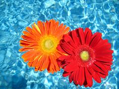 (Ally123) Tags: flowers flower pool swimmingpool gerberas bluebackground orangegerbera redgerbera flowersonapool