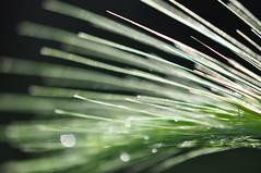 Sra (anuwintschalek) Tags: sun macro water barley rain garden austria droplets wasser 85mm backlit sonne garten niedersterreich regen vesi kodu aed oder halm pike vihm gerste culm wienerneustadt trpfchen micronikkor glitzern sunafterrain nikond90 krs wassertrpfchen tilgad vanagram piisad sra sonnenachdemregen pikeprastvihma