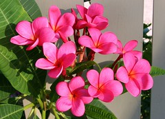 "Plumeria ""Royal Hawaiian"" by Tropic~7, on Flickr"