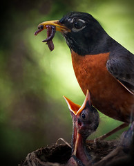 Early Bird Gets The What? (jeffsmallwood) Tags: morning macro bird nature robin birds nest feeding pennsylvania worms babybird birdnest earlybird earlybirdgetstheworm