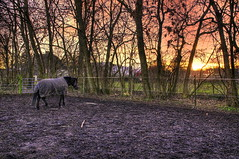 Green grass would have been nicer.. for the horse AND the photo (OrangUtanSam) Tags: sunset sky horse grass denmark dirt dragoer orangutansam johansamsom