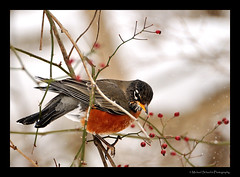 It's cold (Micha67) Tags: winter snow cold detail tree bird ice nature robin animal closeup michael nikon feathers micha 2009 schaefer d300 naturesfinest platinumphoto ysplix theperfectphotographer
