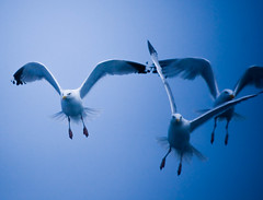 3 Blue gulls (Chrissie64) Tags: blue birds flying interestingness gulls flight bluesky explore avian herringgulls birdwatcher artcafe inspiredbylove featheryfriday theunforgettablepictures