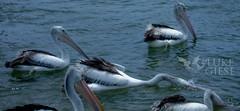 Pelicans Fishing (luke_giese) Tags: pelicans birds feeding portmacquarie